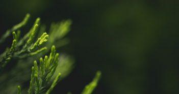 Konifere Cupressocyparis leylandii für den Garten